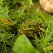 The green frog — Stock Photo