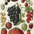 "Different varieties of fruit. Publication of the book ""Meyers Konversations-Lexikon"", Volume 7, Leipzig, Germany, 1910 - Stock Photo"
