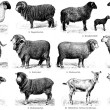 "Stock Photo: Different breeds of goats and sheep. Publication of book ""Meyers Konversations-Lexikon"", Volume 7, Leipzig, Germany, 1910"