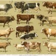"Different breeds of cows. Publication of the book ""Meyers Konversations-Lexikon"", Volume 7, Leipzig, Germany, 1910 - Stock Photo"