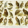 "Various birds of prey. Publication of the book ""Meyers Konversations-Lexikon"", Volume 7, Leipzig, Germany, 1910 — Stock Photo"