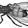 "An old engraving shows the housefly (Musca domestica). The book ""Natur und Offenbarung"" 1861. Volume 7. — Stock Vector"