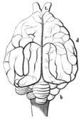 """Uma velha gravura do cão doméstico do cérebro. o livro """"natur und offenbarung"""" 1861. volume 7. — Vetorial Stock"""