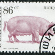 A stamp printed in the Bulgaria, devoted to the animals on a farm, pig, circa 1991 — Stock Photo