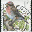 Stamp printed in Belgium, depicts bird Common Redpoll (Carduelis flammea), circ1992 — Stock Photo #12162180
