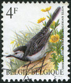 A stamp printed in Belgium, depicts a bird White Wagtail (Motacilla alba), circa 1992 — Stock Photo