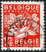 A stamp printed in Belgium, is devoted to agriculture, is depicted grapes and chicory, circa 1948 — Stock Photo