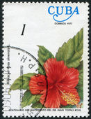 A stamp printed in Cuba shows the flower Hibiscus rosa-sinensis, circa 1977 — Stock Photo