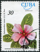 A stamp printed in Cuba, flower shows Catharanthus roseus (Madagascar Periwinkle), circa 1977 — Stock Photo