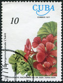 A stamp printed in Cuba, flower shows Pelargonium zonale, circa 1977 — Stock Photo