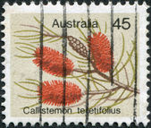 A stamp printed in Australia, shows Callistemon teretifolius, circa 1975 — Stock Photo