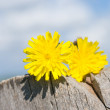 Dandelion — Stock Photo #12243326