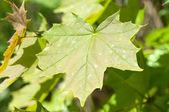 Spring leaf maple. — Stock Photo