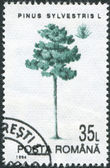 ROMANIA - CIRCA 1994: A stamp printed in the Romania, shows Scots Pine — Stock Photo