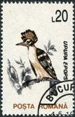 ROMANIA - CIRCA 1993: A stamp printed in the Romania, shows the Great Spotted Woodpecker — Stock Photo