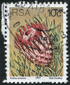 SOUTH AFRICA - CIRCA 1977: A stamp printed in South Africa (RSA), depicts a flower Protea aristata, circa 1977 — Stock Photo