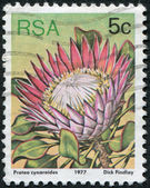 SOUTH AFRICA - CIRCA 1977: A stamp printed in South Africa (RSA), depicts a flower King Protea (Protea cynaroides), circa 1977 — Stock Photo