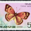 NORTH KOREA - CIRCA 1977: A stamp printed in North Korea, shows a butterfly the Greek Clouded Butterfly, circa 1977 — Stock Photo