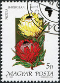 HUNGARY - CIRCA 1990: A stamp printed in Hungary, is depicted Protea barbigera, circa 1990 — Stock Photo