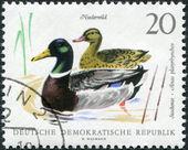 DDR - CIRCA 1968: A stamp printed in DDR, shows the Mallard (Anas platyrhynchos), circa 1968 — Stock Photo