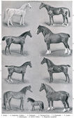 "Different breeds of horses. Publication of the book ""Meyers Konversations-Lexikon"", Volume 7, Leipzig, Germany, 1910 — Stock Photo"