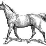 Постер, плакат: The style walk a horse Trot horse gait