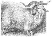 Angora goat, (Capra angorensis). — Stock Vector