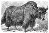 Yak (Poephagus grunniens) — Stock Vector