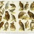 "Various birds of prey. Publication of the book ""Meyers Konversations-Lexikon"", Volume 7, Leipzig, Germany, 1910 — Stock Photo #13705617"