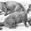 "Shows the European pine marten (Mustela Matres) and beech marten (Martes foina). Publication of the book ""Meyers Konversations-Lexikon"", Volume 7, Leipzig, Germany, 1910 - Vektorgrafik"