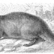 Depicted Egyptian Mongoose (Herpestes ichneumon). Publication of the book &amp;quot;Meyers Konversations-Lexikon&amp;quot;, Volume 7, Leipzig, Germany, 1910 - Stock Vector
