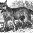 "Depicted Gray wolf (Canis lupus). Publication of the book ""Meyers Konversations-Lexikon"", Volume 7, Leipzig, Germany, 1910 — Stock Vector"