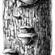 "Polyporus ignarius on the bark of an oak. Publication of the book ""Meyers Konversations-Lexikon"", Volume 7, Leipzig, Germany, 1910 — Stok Vektör"