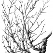 "Taphrina cerasi on cherry branch. Publication of the book ""Meyers Konversations-Lexikon"", Volume 7, Leipzig, Germany, 1910 — Imagens vectoriais em stock"