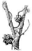 "European dodder (Cuscuta europaea) on the stem Humulus. Publication of the book ""Meyers Konversations-Lexikon"", Volume 7, Leipzig, Germany, 1910 — Stock Vector"
