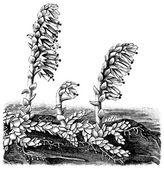 "Ortak toothwort (lathraea squamaria). yayın kitap ""meyers konversations-lexikon"", cilt 7, leipzig, almanya ' nın 1910 — Stok Vektör"