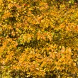 Background of autumn leaves Hawthorn - Stock Photo