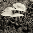 Stock Photo: Mushroom Hypholomfasciculare. Black and white. Toning.