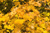 Background of autumn maple leaves — Stock Photo