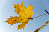 Yellowed maple leaves against the blue sky — Stock Photo