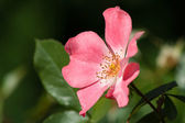 Kwitnący wrzośca — Zdjęcie stockowe