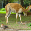 Guanaco at the zoo - Stock Photo