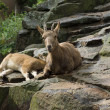 Alpine ibex - Stock Photo