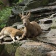 Stock Photo: Alpine ibex