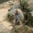 The hamadryas baboon (Papio hamadryas) - Stock Photo