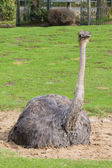 The female ostrich — Stock Photo
