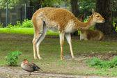 Guanaco at the zoo — Stock Photo