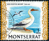 Postage stamp Montserrat (British Overseas Territory), shows the Red-footed Booby (Sula sula) — Stock Photo