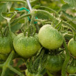 Unripe green tomatoes hanging on a branch. Drops of water. Close-up. — Stock Photo