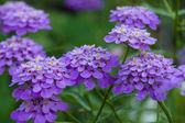 Iberis Flower after rain. — Stock Photo